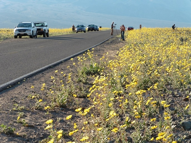 Death Valley National Park visitors enjoy wildflowers from the road. Photo courtesy of NPS.
