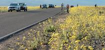 Death Valley National Park visitors enjoy wildflowers from the road. Photo courtesy of the NPS. for Green Blog Blog