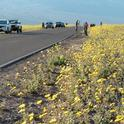 Death Valley National Park visitors enjoy wildflowers from the road. Photo courtesy of the NPS.