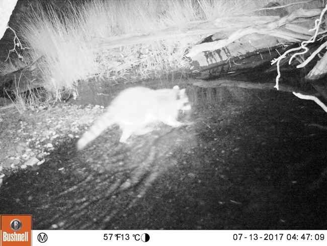 A raccoon captured on one of the wildlife cameras set up by campers.