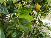 There is no known treatment for huanglongbing, which kills citrus trees.