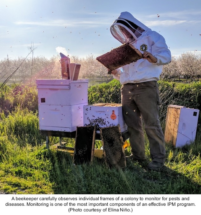 Beekeeper monitors bee colony for pests and diseases.
