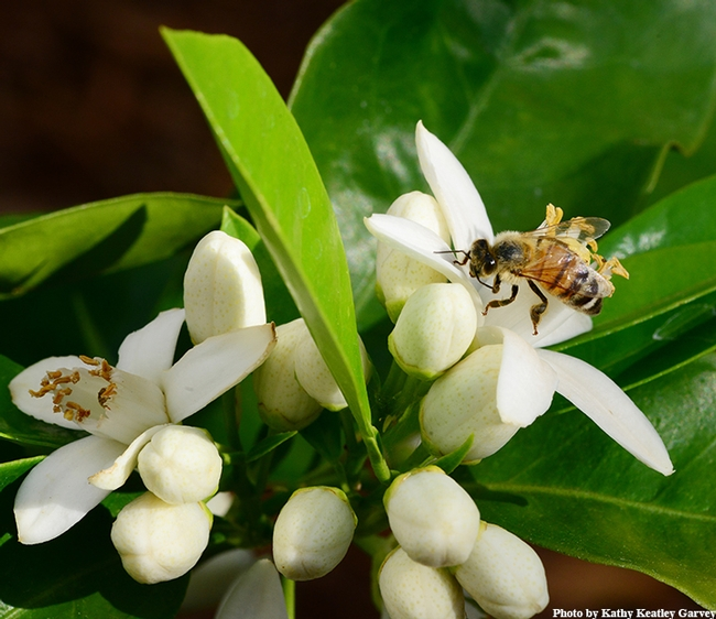 A honey bee sips nectar from an orange blossom. (Photo by Kathy Keatley Garvey)