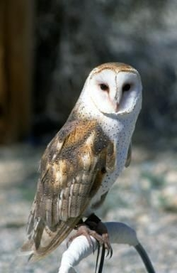 Barn owl adult. Photo by G. Rohman.