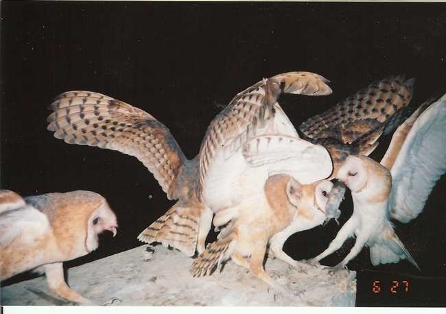 Barn owl bringing a rodent back to the nest box, photo by Gary Rohman