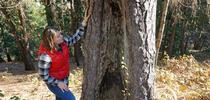 Kate Wilkin inspects a ponderosa pine on her property with an old fire scar, undeniable evidence that fire has swept through her neighborhood in the past. for Green Blog Blog