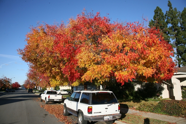Chinese pistache is a common California street tree that provides shade in summer and spectacular autumn colors in the fall. (Photo Jitze Couperus, flickr CC BY 2.0) for Green Blog Blog