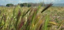 Foxtails are not native in Central California. for Green Blog Blog