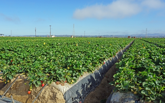 Part of the strawberry field at Manzanita Berry Farms near Santa Maria where UCCE advisor Surandra Dara conducts trials on biologicals and other potential remedies for soil borne diseases, weeds and insects. for Green Blog Blog