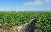 Part of the strawberry field at Manzanita Berry Farms near Santa Maria where UCCE advisor Surandra Dara conducts trials on biologicals and other potential remedies for soil borne diseases, weeds and insects.