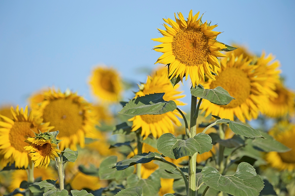 radiant daisy like sunflowers produce a valuable crop with little