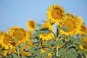 Currently, the majority of California hybrid seed sunflower is grown in the Sacramento Valley.