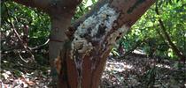 A sugar volcano (sugary exudate) on avocado tree trunk. for Green Blog Blog