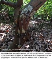 A sugar volcano (sugary exudate) on avocado tree trunk.