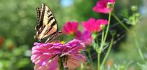 The Western tiger swallowtail, Papilio rutulis, was a frequent visitor to the Häagen-Dazs Honey Bee Haven during the early years. Note the spider lurking beneath the zinnia blossom. (Photo by Kathy Keatley Garvey) for Green Blog Blog
