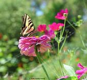The Western tiger swallowtail, Papilio rutulis, was a frequent visitor to the Häagen-Dazs Honey Bee Haven during the early years. Note the spider lurking beneath the zinnia blossom. (Photo by Kathy Keatley Garvey)