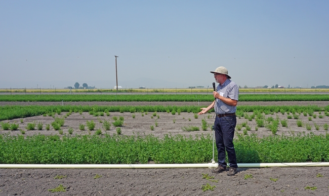 UC Davis plant breeder Charlie Brummer is conducting pre-breeding experiments at IREC to tease out the plants most likely to parent high-yielding alfalfa.