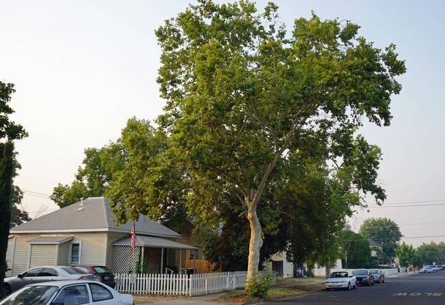 Urban foresters in inland cities of California should begin reconsidering their palettes of common street trees to prepare for climate change.