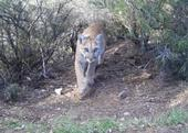 Plants and wildlife, like this mountain lion, will need to find natural corridors to migrate into areas with suitable climates. (Photo: National Park Service)