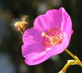 POLLEN-PACKING honey bee heading toward rock purslane (Calandrinia grandiflora). (Photo by Kathy Keatley Garvey)