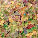 A grapevine with red blotch symptoms. (Photo: Evett Kilmartin)