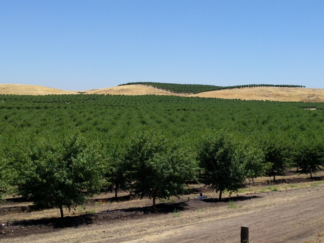 Almond trees in a California orchard.