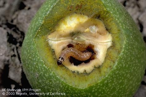 Codling moth larva feeding on walnuts. During winter, the larvae form cocoons and live the bark of trees.