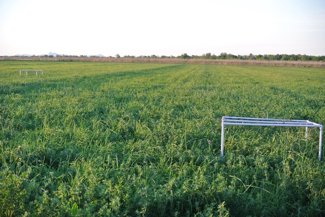 Bird exclusion cages were used to show that birds feed on alfalfa weevils, helping to protect alfalfa from this key insect pest. Image by Sara Kross, Yolo County alfalfa field.