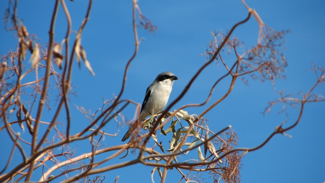 A loggerhead shrike, an insect predator, perches on elderberry on a Sacramento Valley farm.  Image by Sacha Heath.