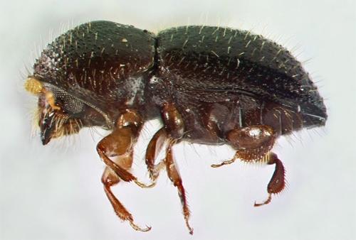 polyphagus-shb