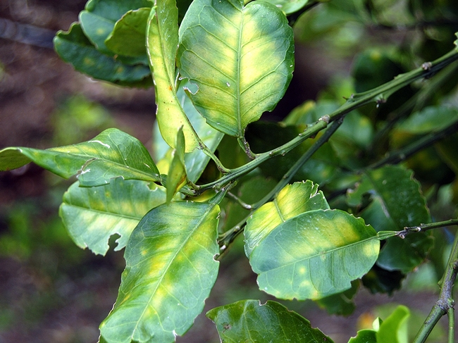 A symptom of HLB in citrus is the yellowing of leaves on an individual limb or in one sector of a tree's canopy. (Photo: Citrus Pest and Disease Prevention Program)