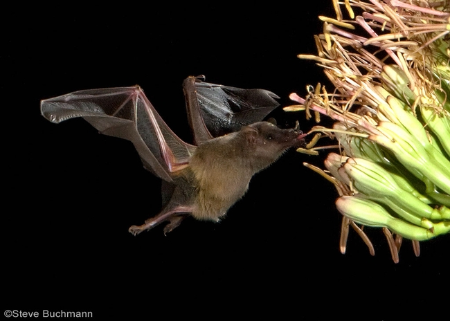 Mexican long-tongued bat is a pollinator. Photo by Steve Buchmann