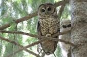 adult and juvenile owl