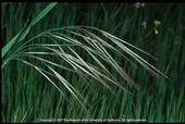 Non-native Bromus species, such as ripgut brome, grow fast and dry out quickly, becoming highly flammable.