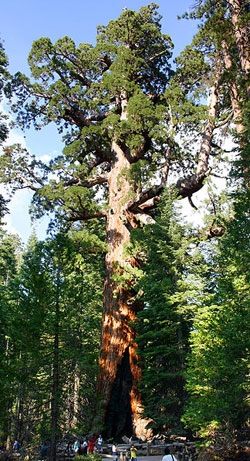 GiantSequoia