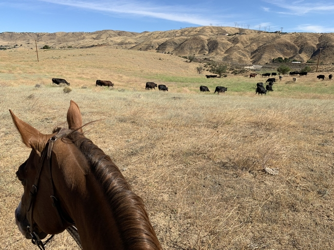Photo taken from horseback observing a herd of black cattle in a pasture