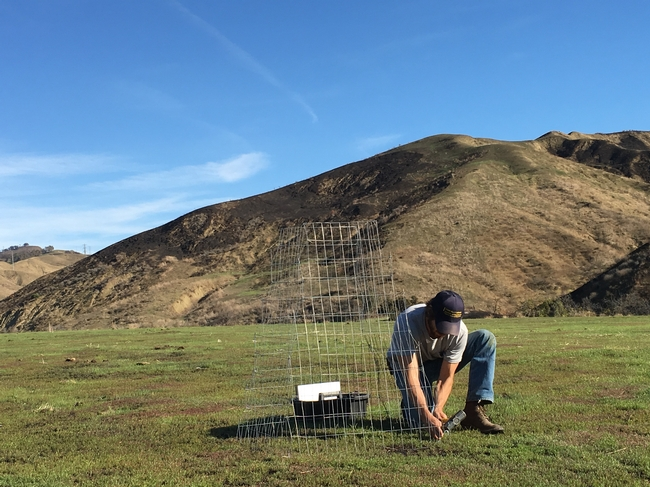 Shapero fastens wire cage to mark one-foot quadrats for the grass sampling.