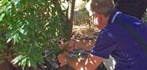 Matteo Garbelotto examines bay laurel for sudden oak death symptoms at the UC Berkeley campus. for Green Blog Blog
