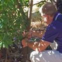 Matteo Garbelotto examines bay laurel for sudden oak death symptoms at the UC Berkeley campus.