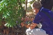 Matteo Garbelotto examines bay laurel for sudden oak death symptoms at the UC Berkeley campus.