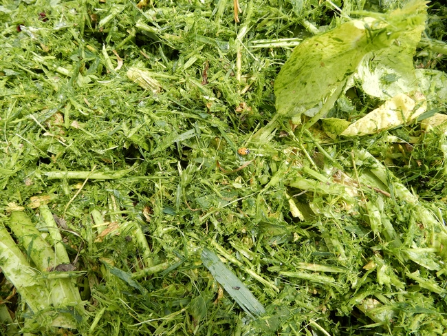 Close-up image of recently mowed cover crop at Teixeira & Sons in Dos Palos on April 4, 2020.