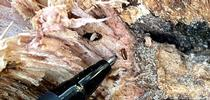 A ball point pen points to a Mediterranean Oak Borer, indicating its tiny size. for Green Blog Blog