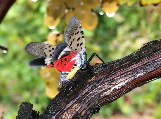 An adult spotted lanternfly with its wings spread. (Photo: Surendra Dara)