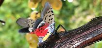 An adult spotted lanternfly in Pennsylvania with its wings spread. (Photo: Surendra Dara) for Green Blog Blog