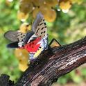 An adult spotted lanternfly in Pennsylvania with its wings spread. (Photo: Surendra Dara)