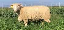 Organic vegetable farms could benefit from sheep grazing cover crops because it enhances  soil fertility, structure and water infiltration. for Green Blog Blog