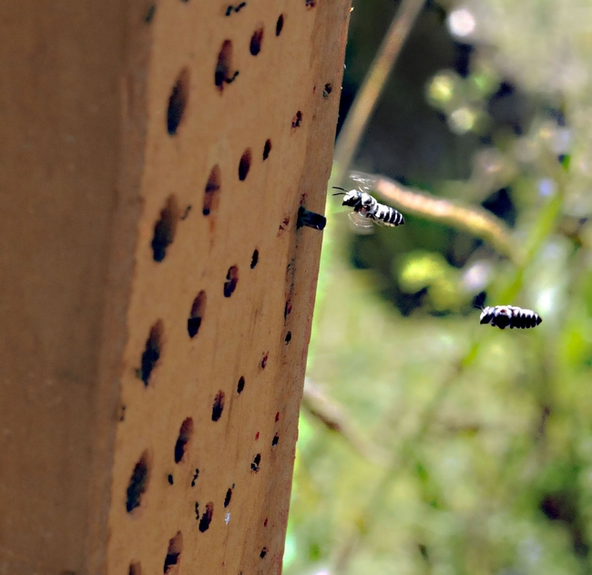 Leafcutting bees, aka leafcutter bees (genus Megachile) head toward a bee condo built for these and other pollinators.  (Photo by Kathy Keatley Garvey)