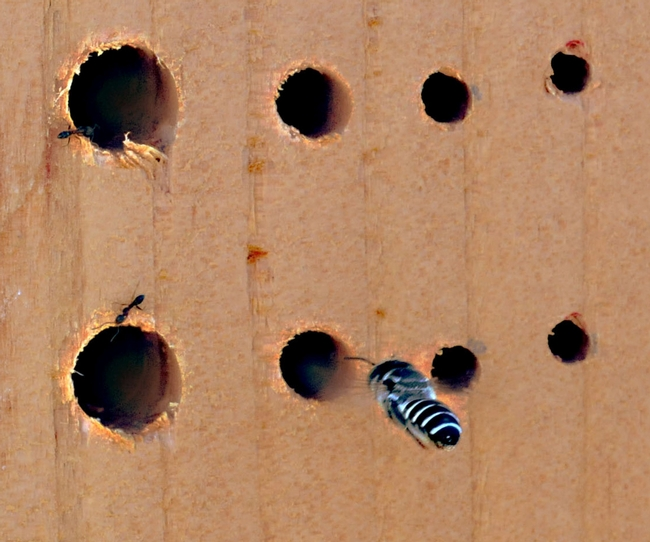 Home sweet home: Oblivious to ants, a leafcutter bee heads for home. (Photo by Kathy Keatley Garvey)