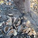 Nuts left in almond orchards after harvest can provide a home for over-wintering pests. UC IPM experts recommend the removal of all mummy nuts from the trees and orchard floor.