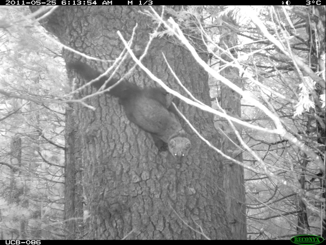 Fisher near the maternal den.